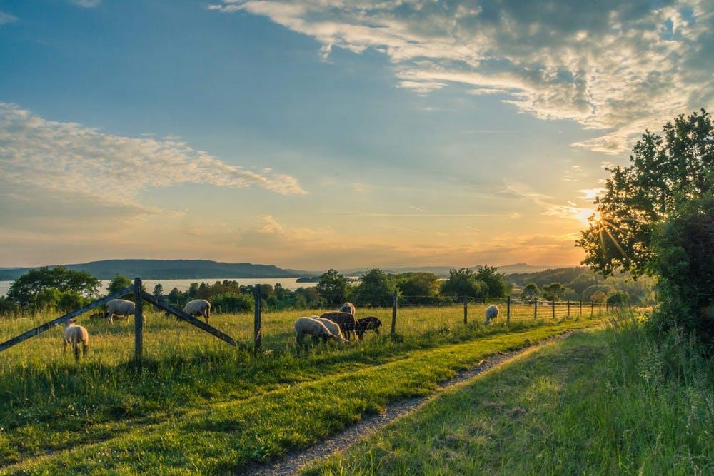lake-constance-sheep-pasture-sheep-blue-158179